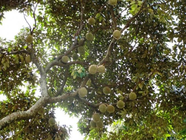 Durian_Penang_Malaysia